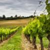 irri-tape-vineyard